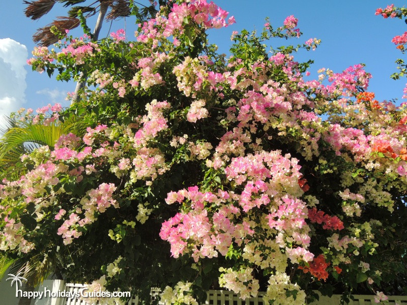 Key West Bougainvillea