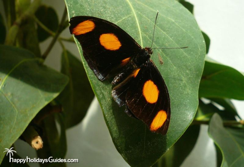 Butterfly Conservatory Black Butterfly