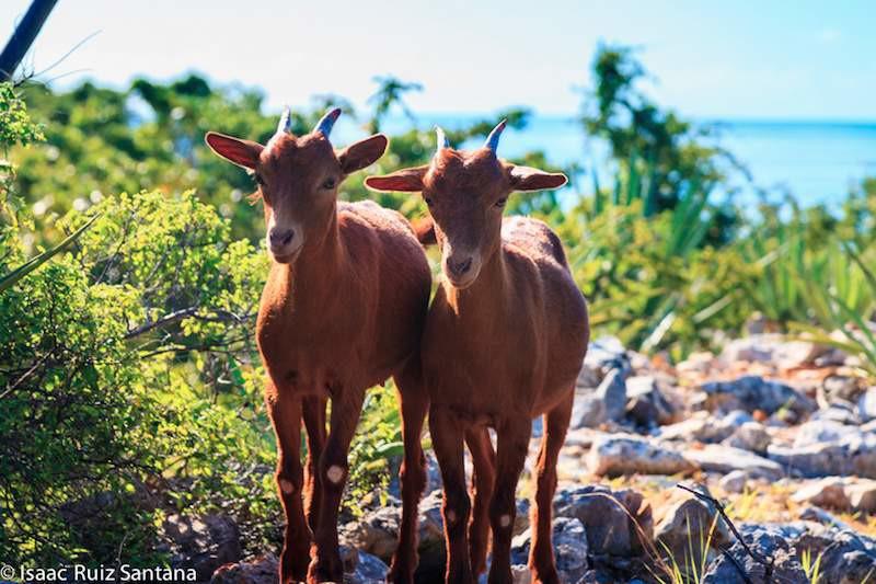 Isla de Mona Goats