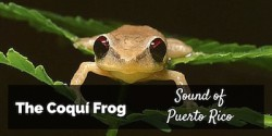 Coqui Frog Sound of Puerto Rico