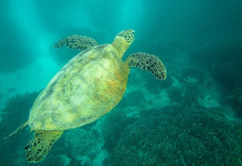 Great Barrier Reef Turtles