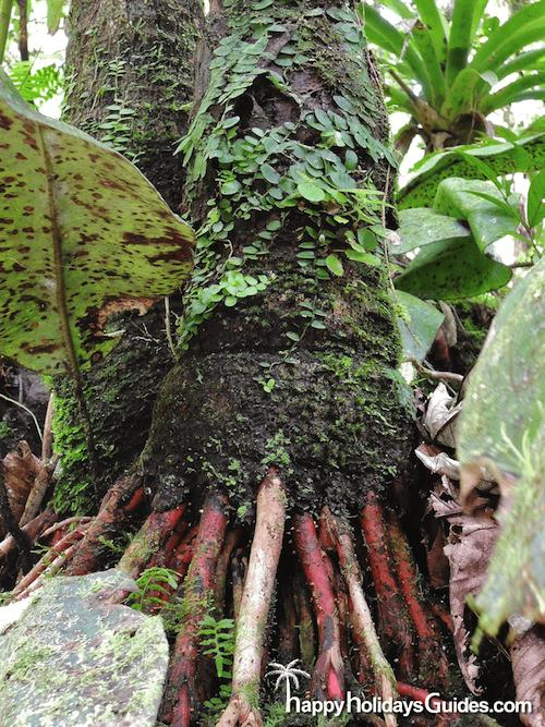 El Yunque Tree Roots