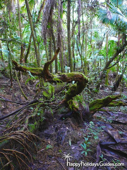 El Yunque tree trunk
