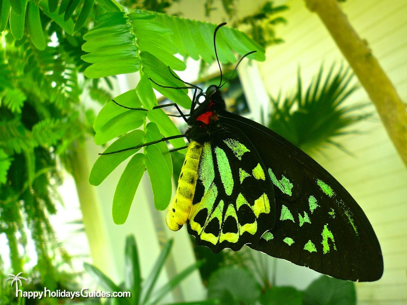 Butterfly Conservatory Neon Green Butterfly