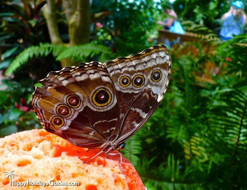 Butterfly Conservatory Blue Morpho