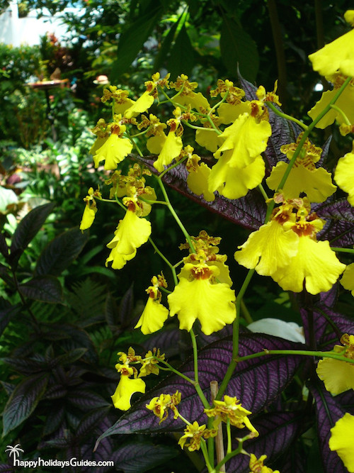 Butterfly Conservatory Yellow Orchids