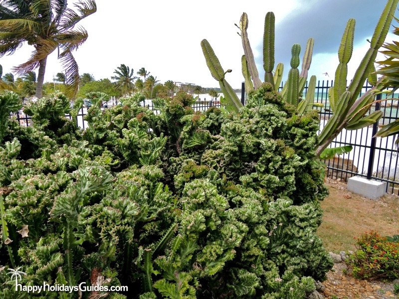 Key West Garden Club Cactus
