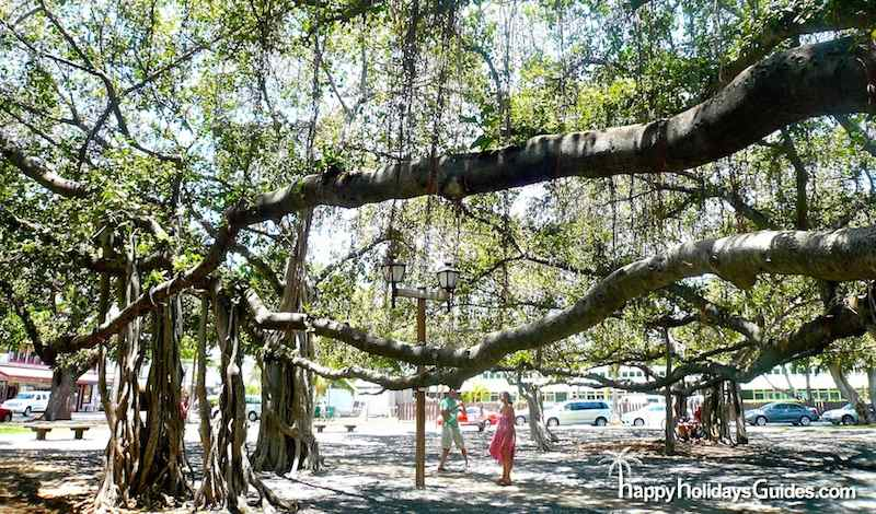 Maui Banyan Tree