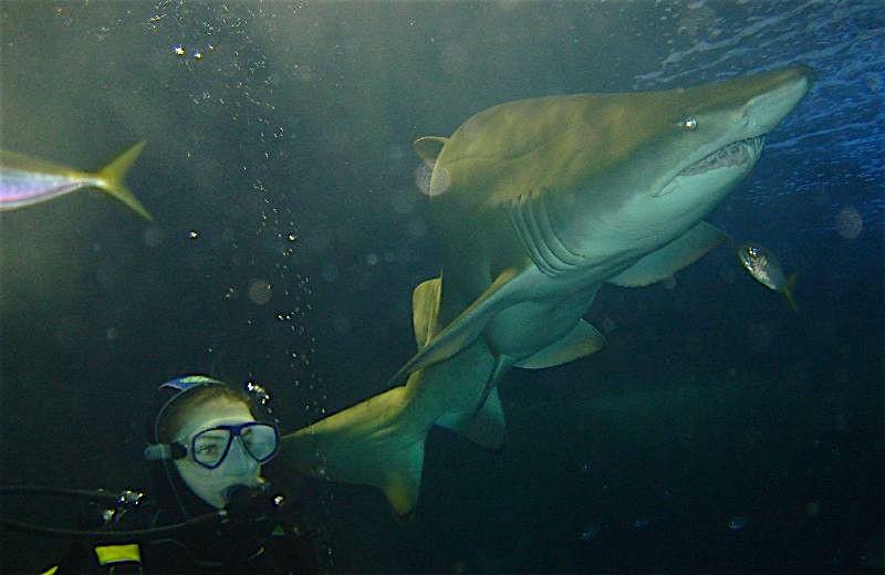 Sydney Swimming w Sharks